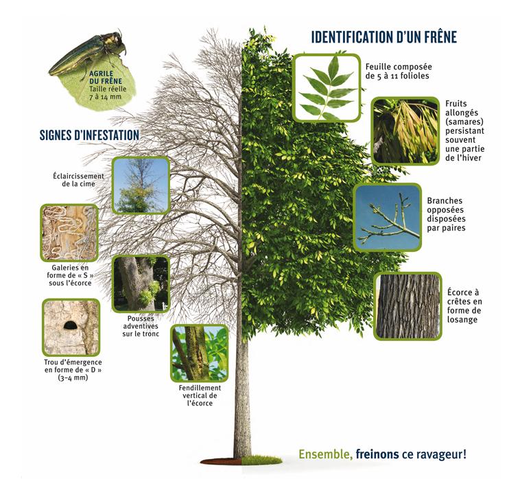 Identification et signes infestations des arbres contre l'agrile du frêne
